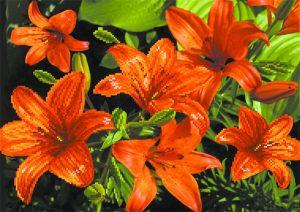 art.-4085-Oranjevie-lilii
